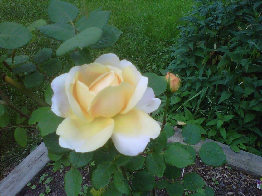 Yellow Charles Darwin rose.