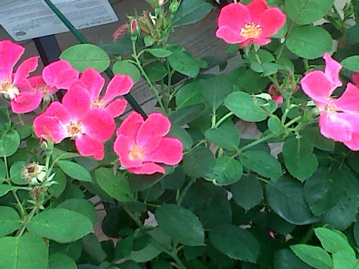 Home Run Roses