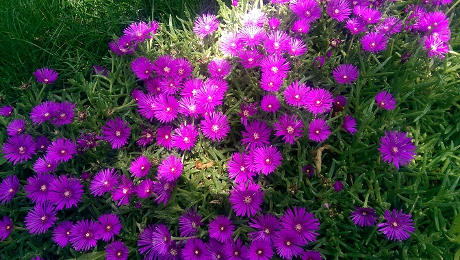 Ice Plant in Bloom.
