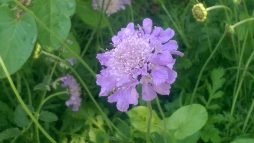 Pincushion flower