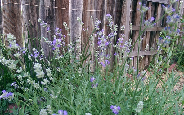 Lavender and invisible fence wire.