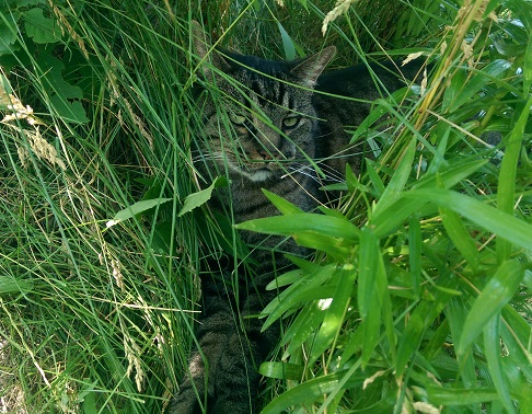 Cat in grass.