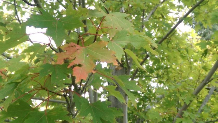 Red leaf in green tree.