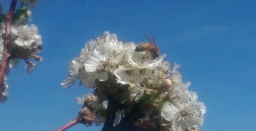 Bee on blooms.