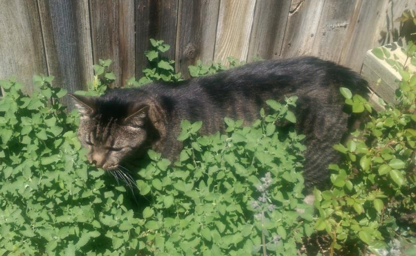 MacKenzie in Cat Mint