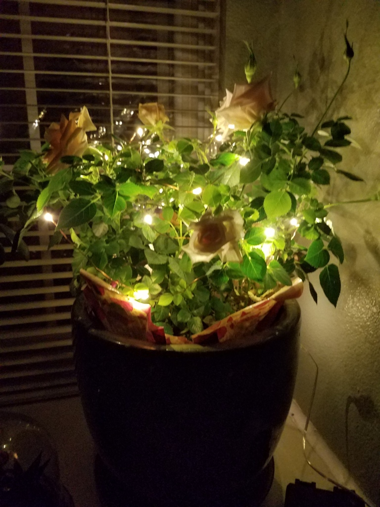 Lights on rose bush.