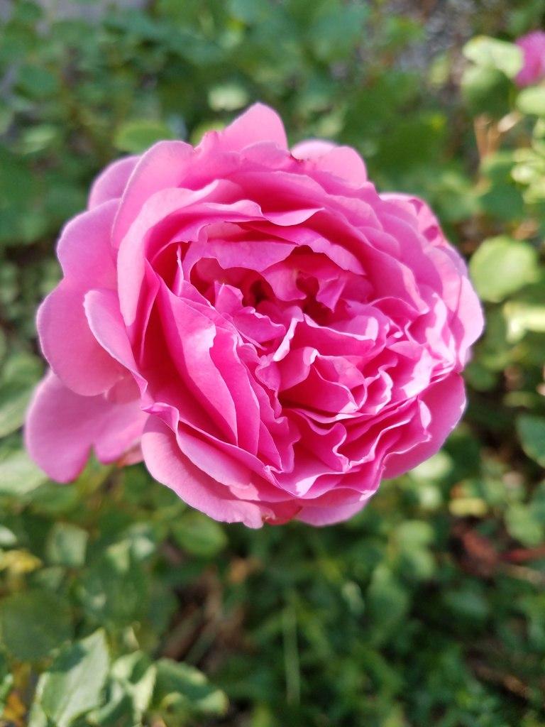 English Rose.