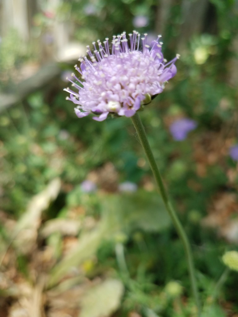 Pincushion Flower.