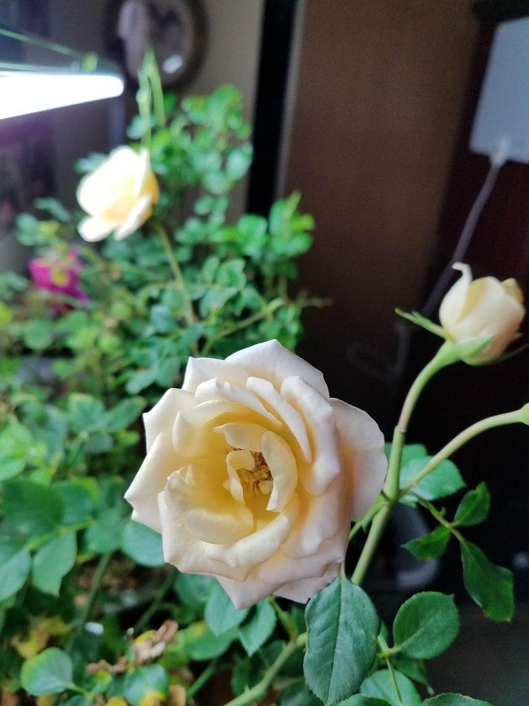 Rose blooms.