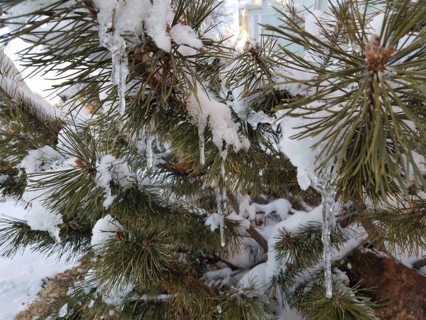 Snowy pine.