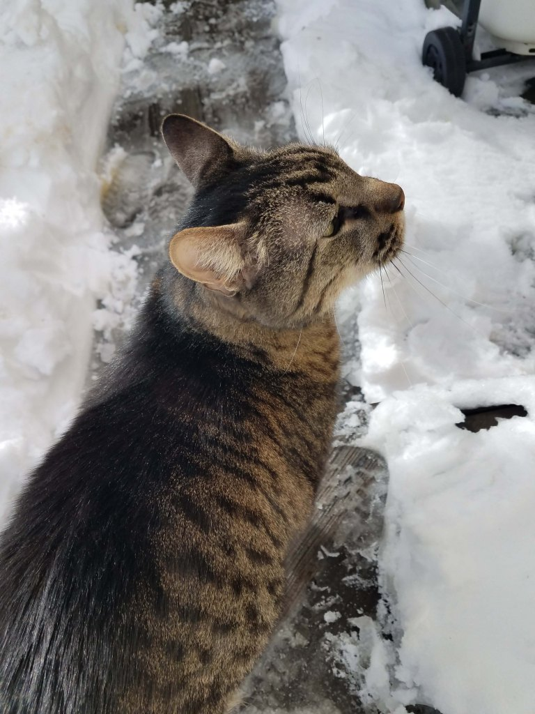 Cat on shoveled path through the snow.