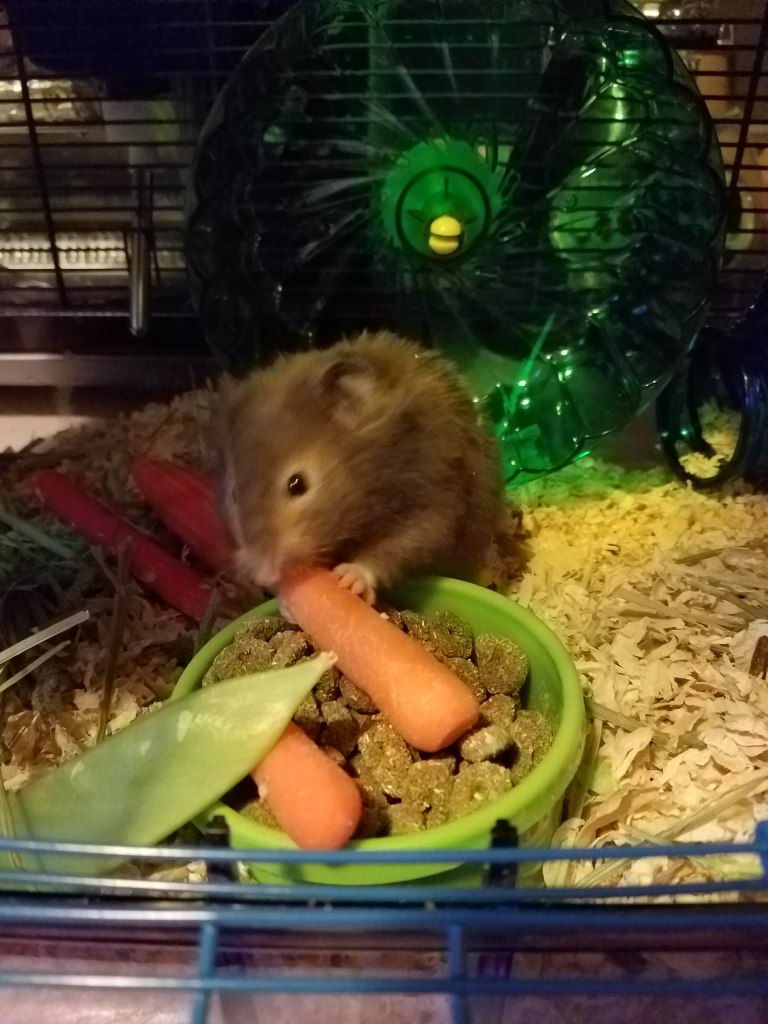 Hamster ignoring cat and eating a carrot.