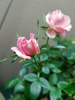 Blooming indoor rose.